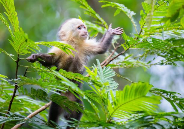 albifacies bebê macaco-prego nas copas das árvores no parque nacional tortuguero, costa rica - macaco - fotografias e filmes do acervo