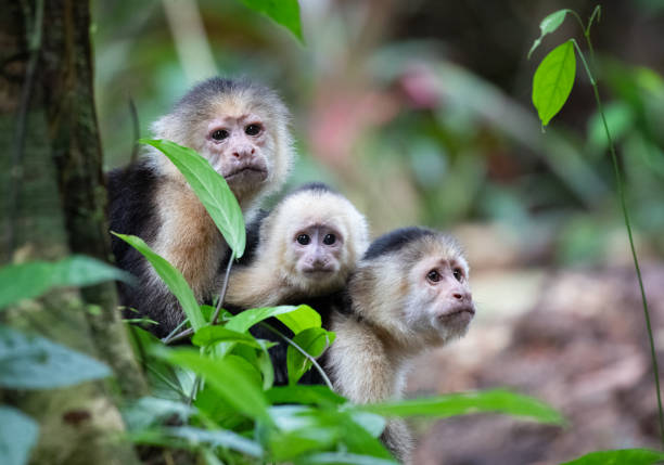 White-Faced Capuchin Monkey Family in Tortuguero National Park, Costa Rica White-Faced Capuchin Monkey Family, Cebus capucinus, Tortuguero National Park, Costa Rica limoen stock pictures, royalty-free photos & images