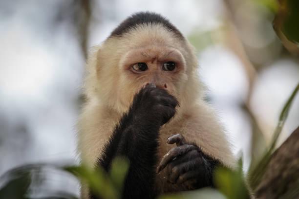 White-faced capuchin monkey in Costa Rica stock photo