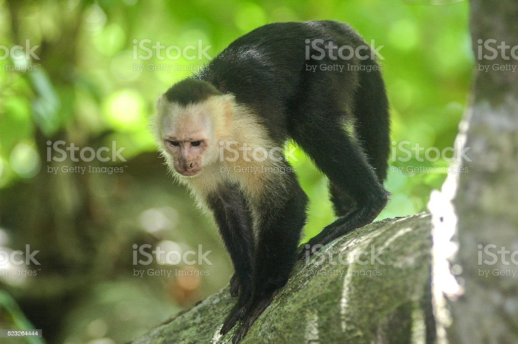 Whitefaced Capuchin Monkey Stock Photo - Download Image Now