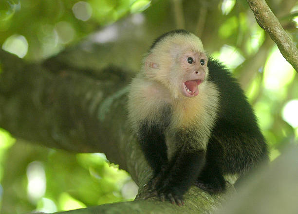 White-Faced Capuchin Monkey Playful monkey at Parque Nacional Manuel Antonio, Costa Rica. monkey stock pictures, royalty-free photos & images