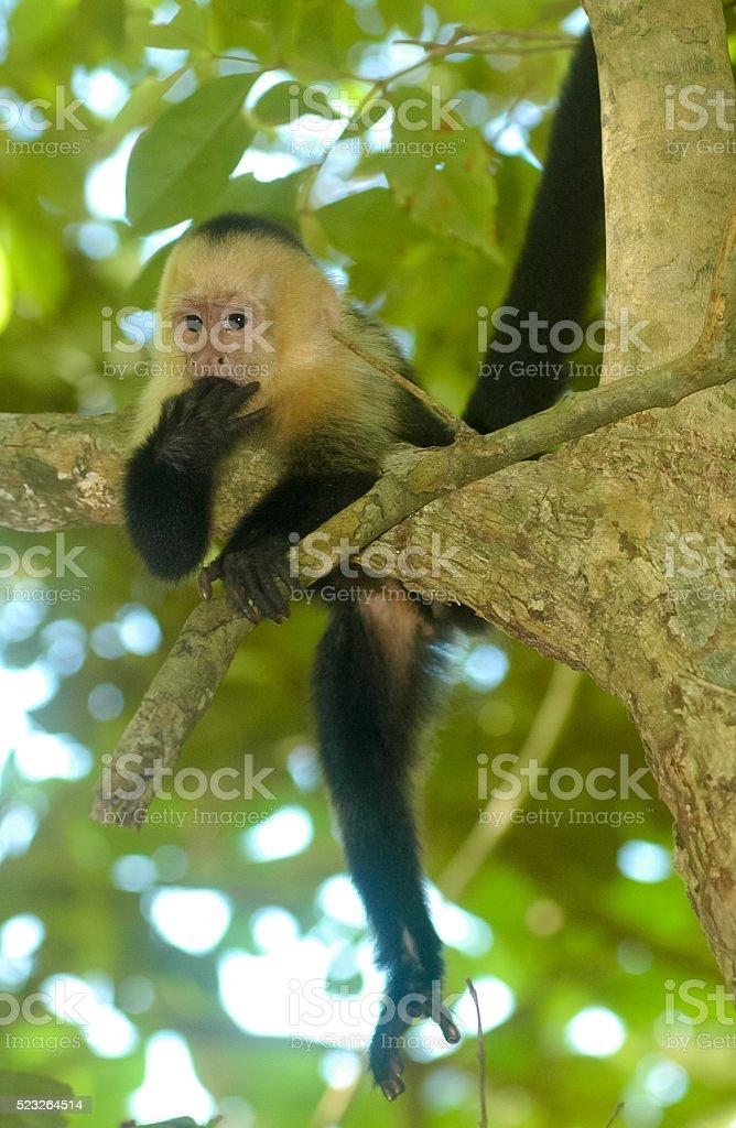 White-Faced Capuchin Monkey stock photo