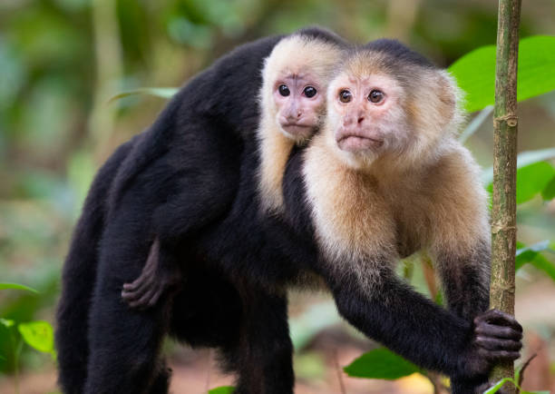 White-Faced Capuchin Monkeys, Mother and Baby in Tortuguero National Park, Costa Rica stock photo