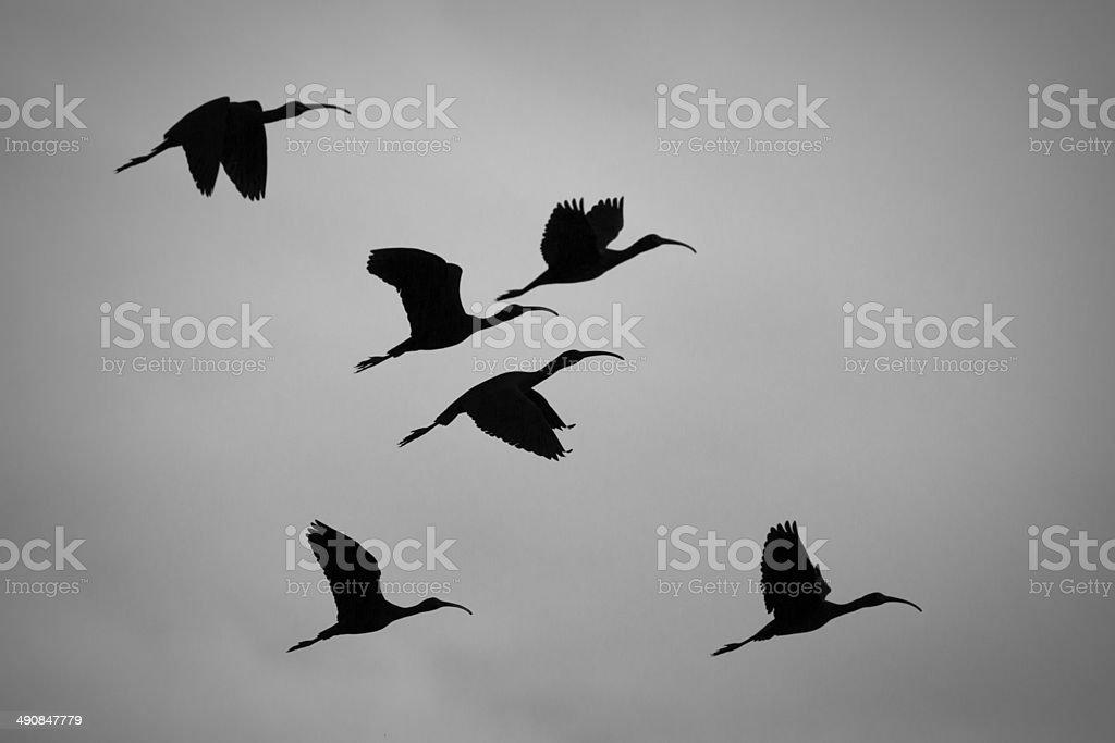 White-faced Ibis Silhouette royalty-free stock photo