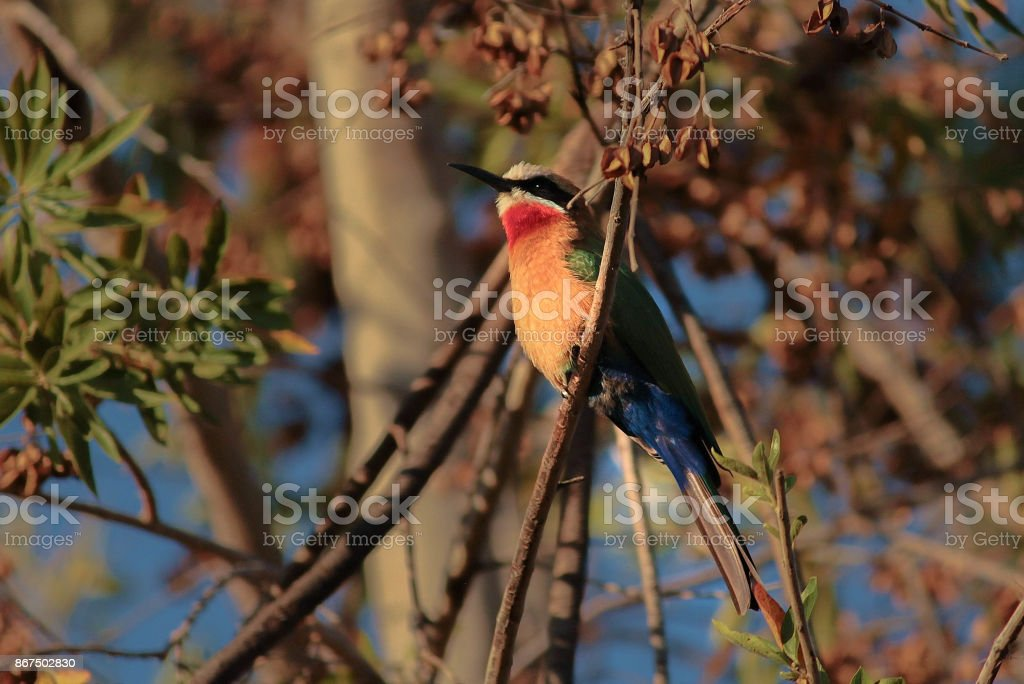 White-Fronted Bee Eater stock photo