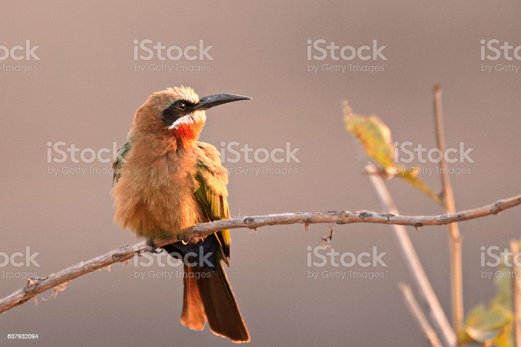 White-fronted bee-eater hunting for insects stock photo