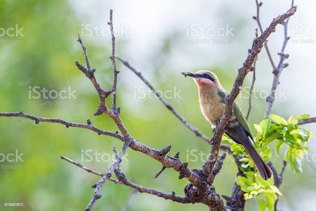 White-fronted Bee-eater in Kruger National park, South Africa stock photo