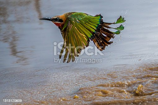 White-fronted bee-eater emerging with splashing water from a shallow pool after a full speed bathe