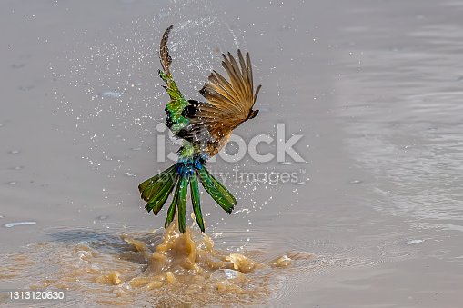 White-fronted bee-eater flying away from the camera as it emerges from bathing in a shallow pool