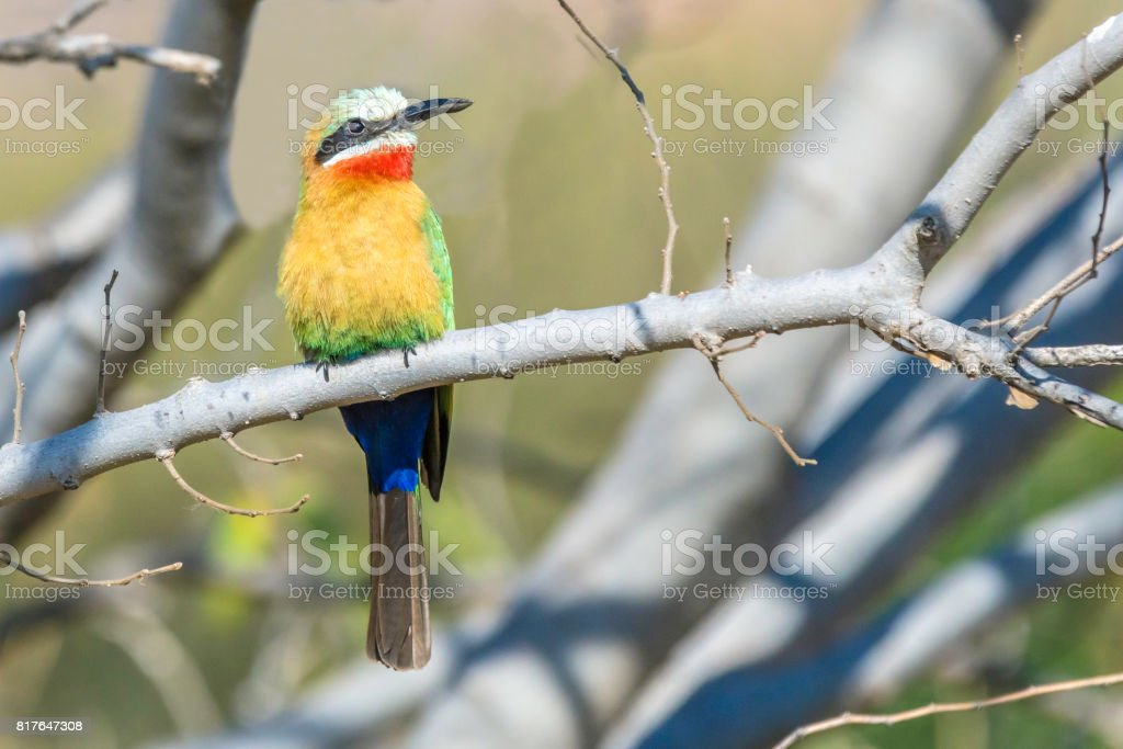 White-fronted bee-eater (Merops bullockoides) stock photo