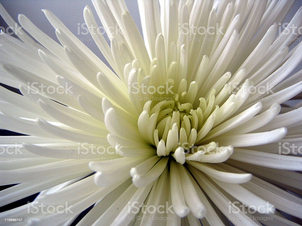 White-green Chrysanthemum postcard royalty-free stock photo