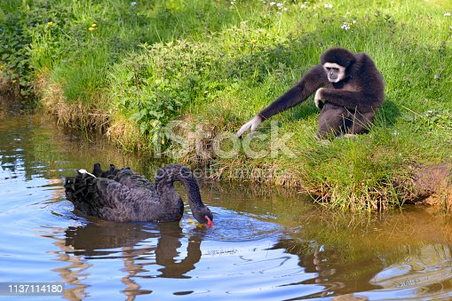 White-handed gibbon or white-handed gibbon (Hylobates lar) and black swan (Cygnus atratus) on water