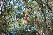 White-handed gibbon hanging on a branch in the dense forest