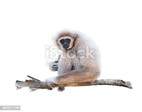 Portrait of White-handed gibbon(Hylobates lar) isolated on white background