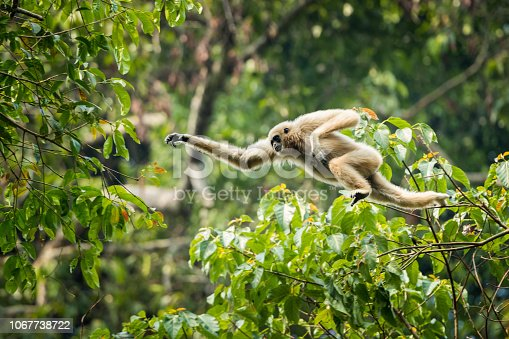 White-handed gibbon jumping in the forest