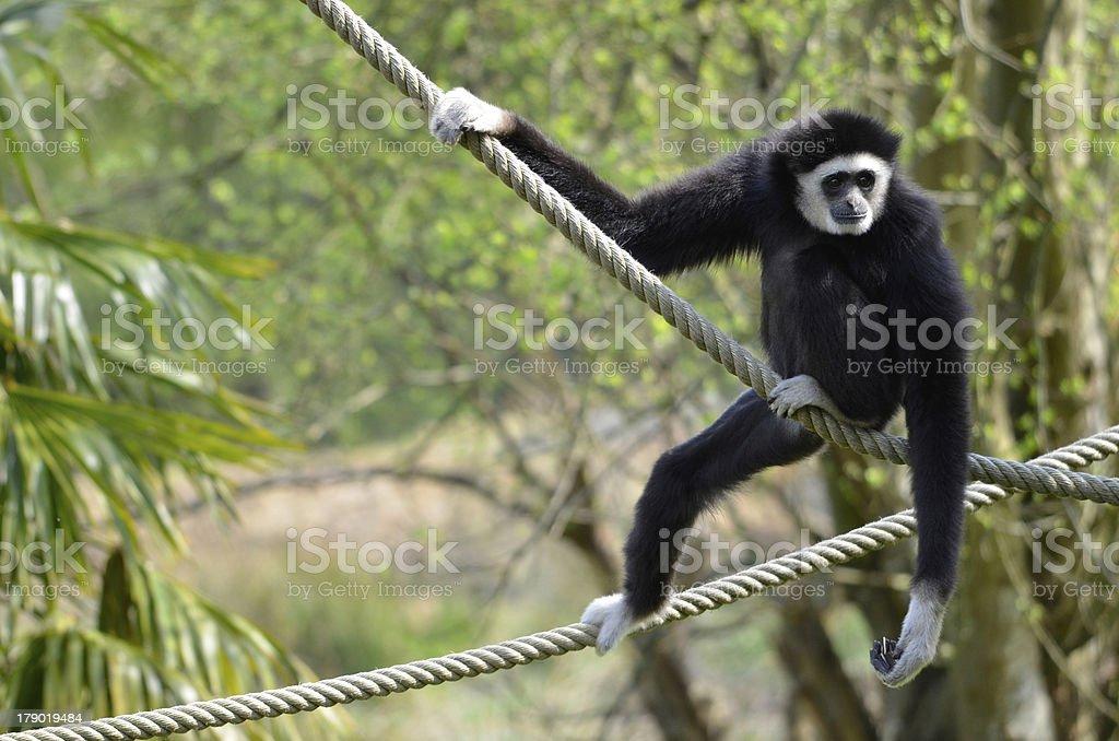 White-handed gibbon on ropes stock photo