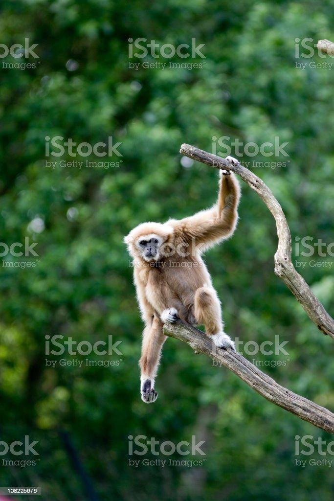 White-handed Gibbon (Hylobates lar) royalty-free stock photo