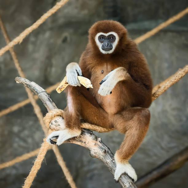 White-handed gibbon. stock photo
