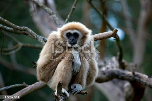 Hylobates lar. The natural habitat of the white-handed gibbon is in the tropical rainforests of southern and SE Asia, including Thailand, Malaysia, Indonesia and Burma. These gibbons rarely descend to the forest floor.