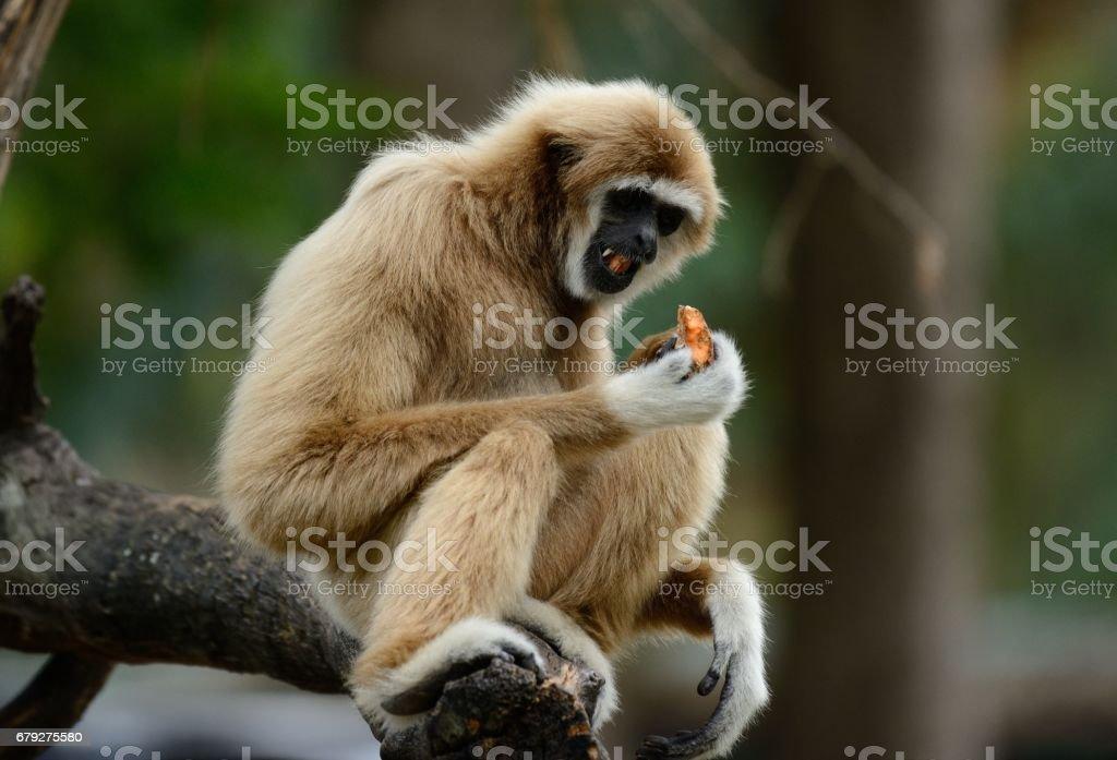 White-handed Gibbon (Hylobates lar) foto de stock royalty-free