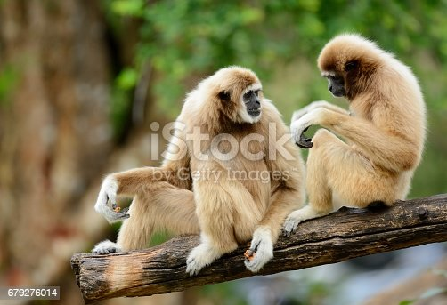 beautiful White-handed Gibbon (Hylobates lar) sitting on ground