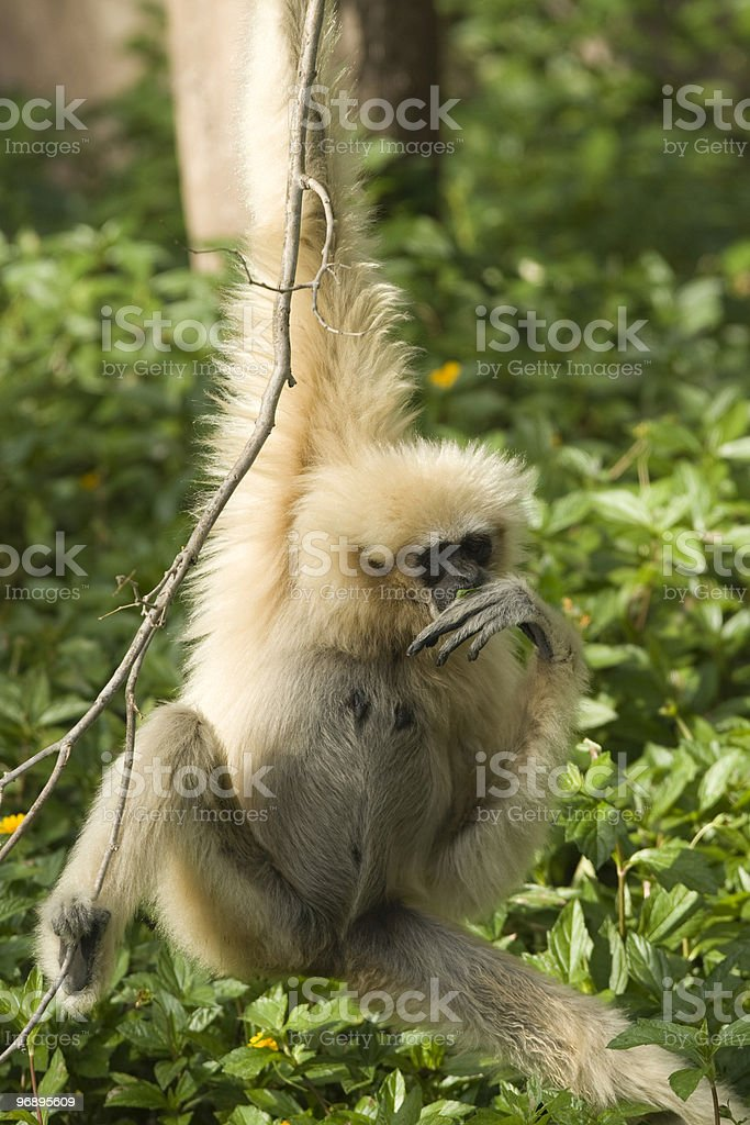 White-Handed Gibbon royalty-free stock photo
