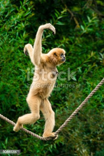 White-handed gibbon running the tight rope.