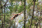 White-handed gibbon swings from branch to branch in the dense forest