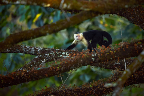 White-headed Capuchin, black monkey sitting on tree branch in the dark tropic forest. Wildlife Costa Rica. stock photo