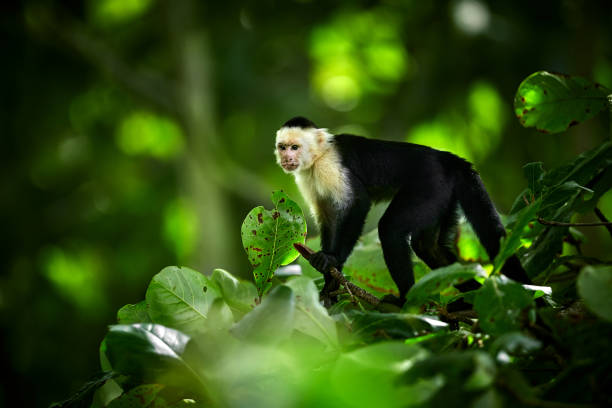 White-headed Capuchin, black monkey sitting on tree branch in the dark tropic forest. Wildlife Costa Rica. Monkey eating banana stock photo