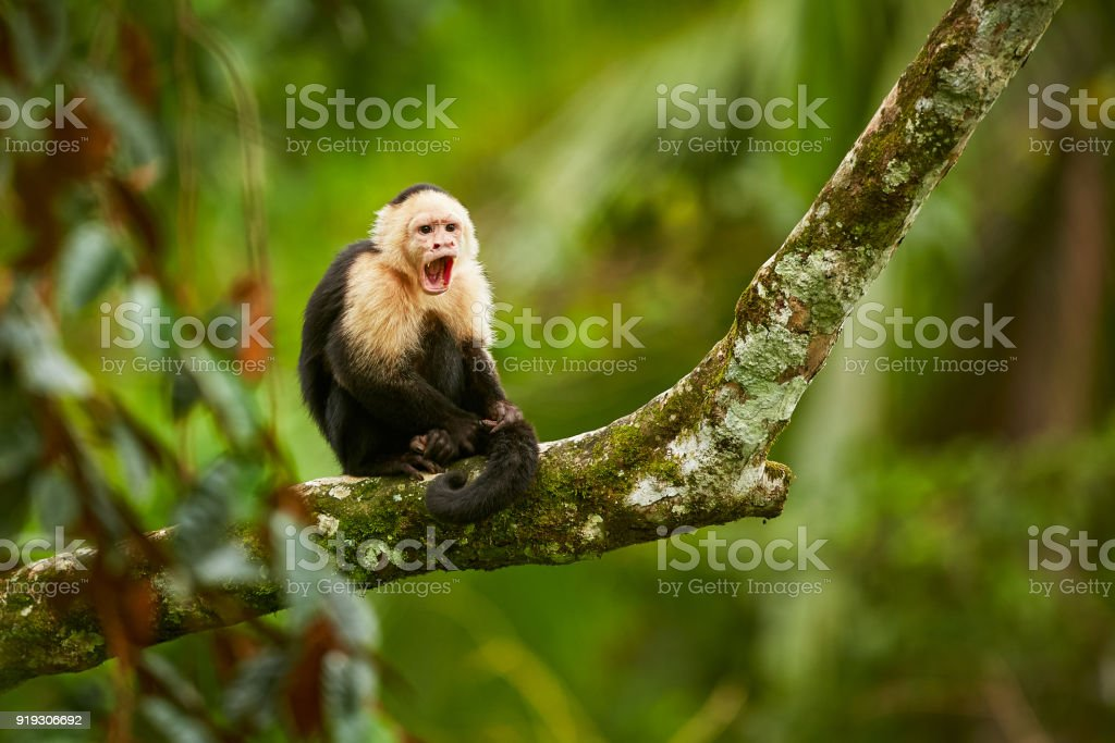White-headed Capuchin, black monkey sitting on tree branch in the dark tropic forest. Wildlife Costa Rica. Monkey with open muzzle with tooth. Angry monkey. stock photo