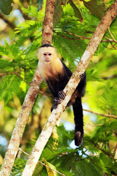 White-headed Capuchin (Cebus capucinus) is climbing in a tree, Tortuguero National Park, Costa Rica stock photo
