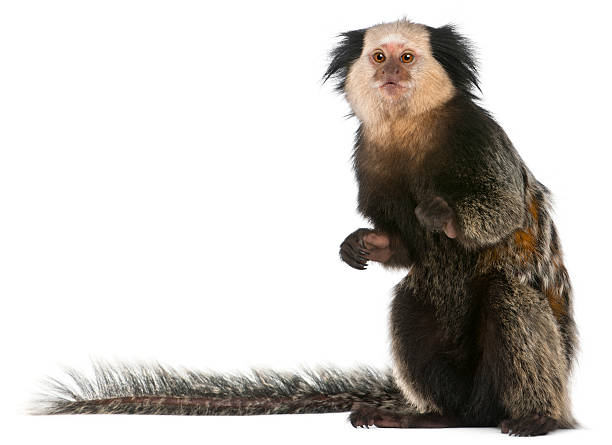 White-headed Marmoset, Callithrix geoffroyi, sitting, white background. White-headed Marmoset, Callithrix geoffroyi, sitting in front of white background. marmoset stock pictures, royalty-free photos & images