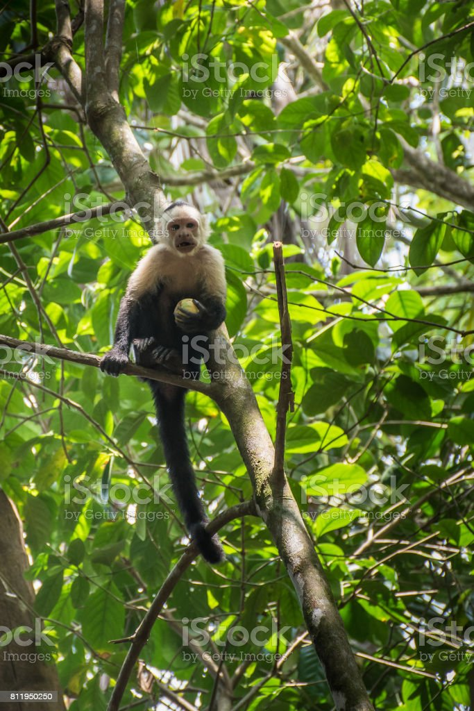 White-headed monkey with a fruit in  Corcovado stock photo