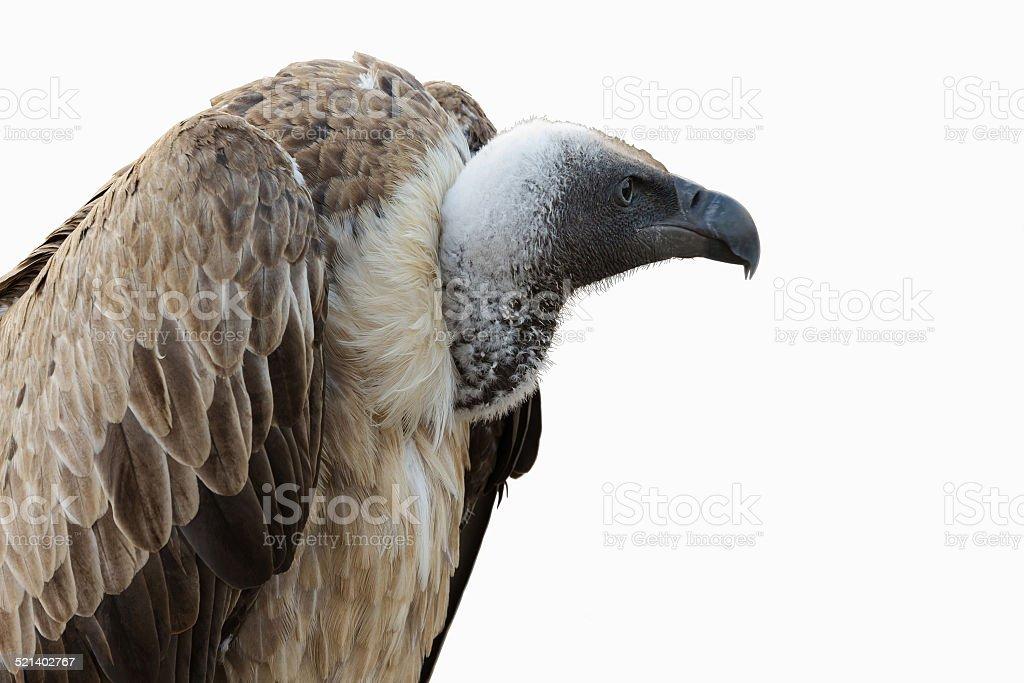 White-headed Vulture - Buitre Cabeza Blanca stock photo