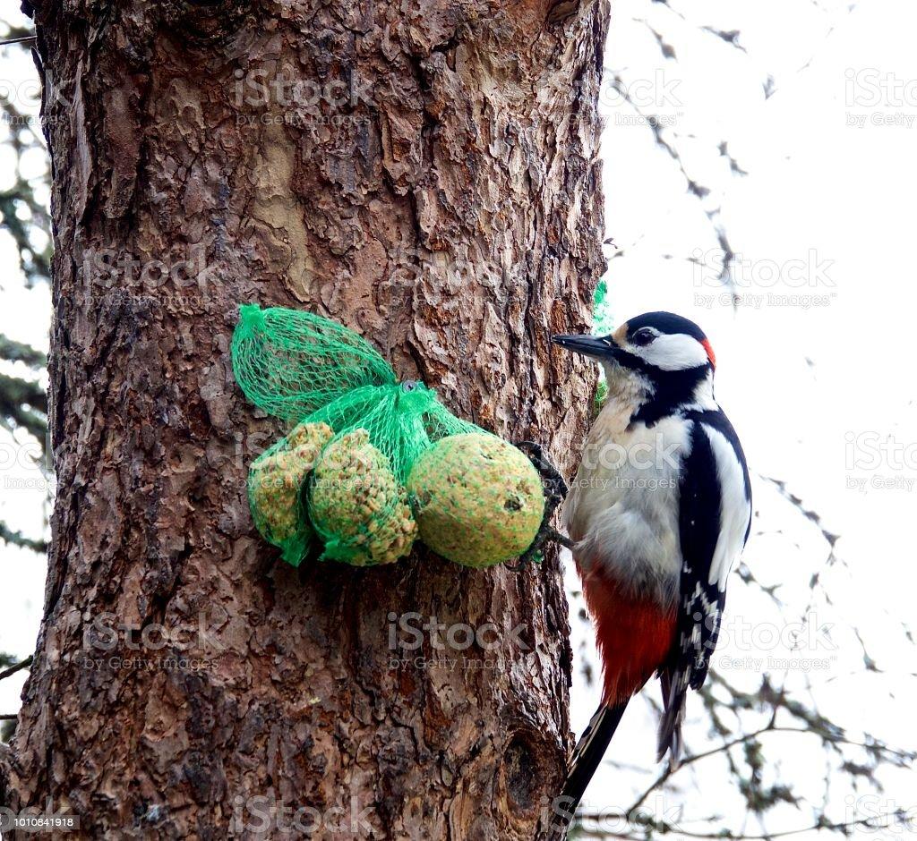 White-headed Woodpecker Picoides albolarvatus stock photo