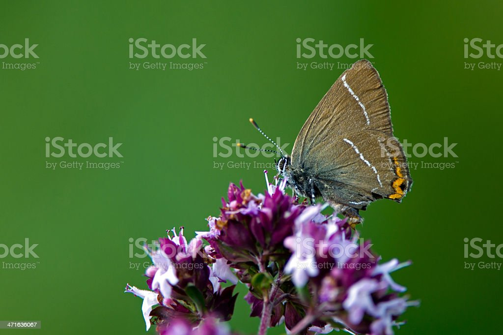 White-letter Hairstreak (Satyrium w-album) stock photo