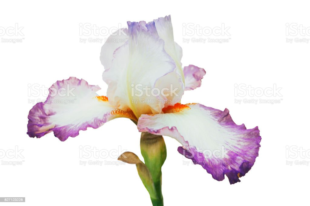 White-lilac iris with orange fringe and blue lip on petals, on green stalk, isolated white background stock photo