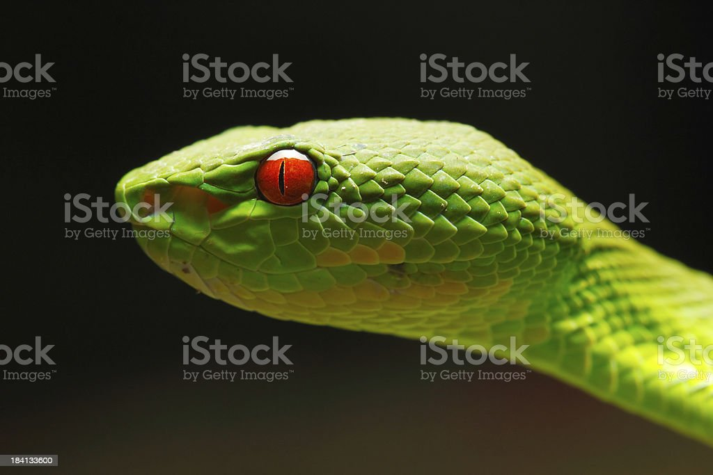 White-lipped Green Pit Viper stock photo