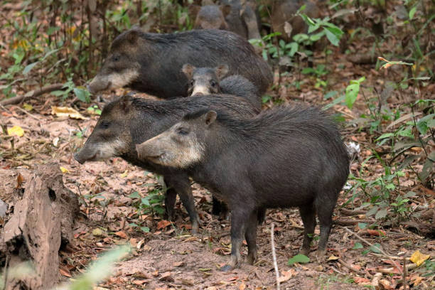 white-lipped peccaries - javelina stock pictures, royalty-free photos & images