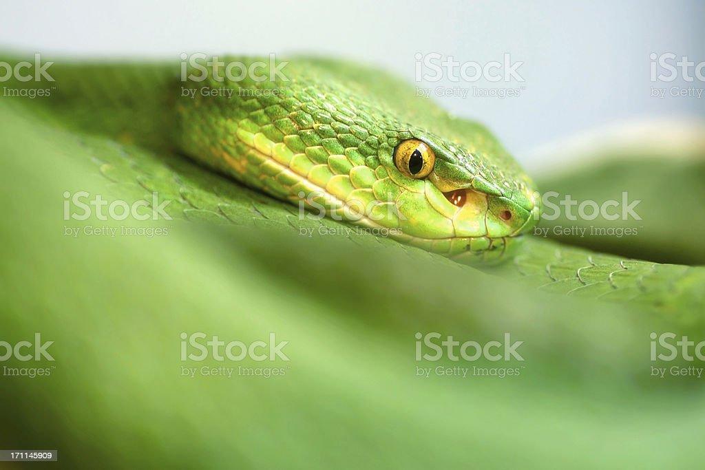 White-lipped Pit Viper Danger Green Snake Close-up stock photo