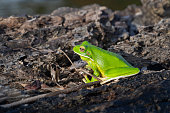 A white-lipped tree frog (Nyctimystes infrafrenatus) along the Daintree River in Queensland, Australia.  This is the largest of the world's tree frogs.