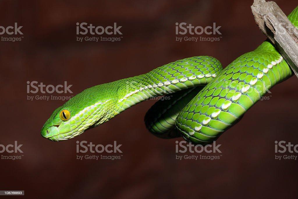 White-Lipped Tree Viper Snake - Juvenile stock photo