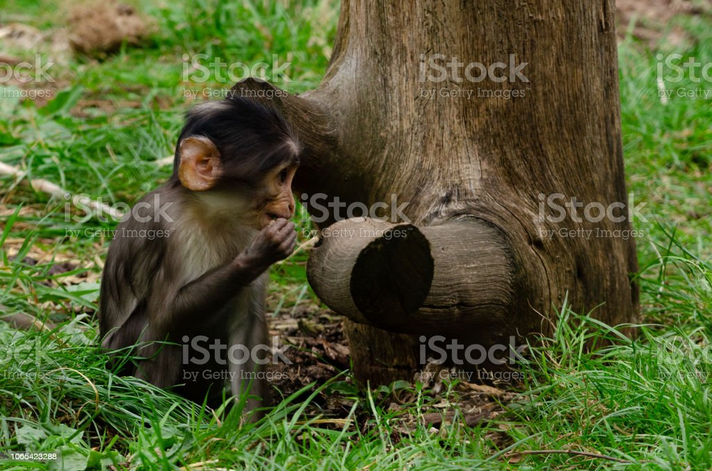 White-naped Mangabey stock photo