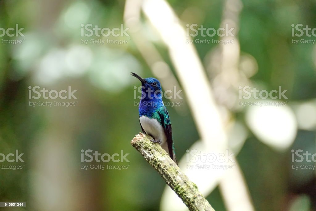 White-necked jacobin hummingbird perched on a branch stock photo