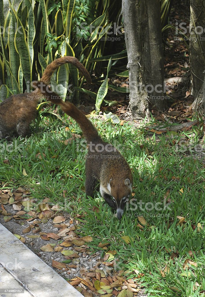 White-nosed coati in Mayan Riviera, Mexico. royalty-free stock photo