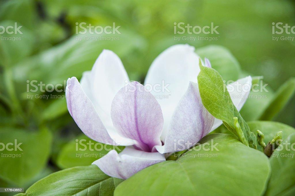 White-Pink Magnolia royalty-free stock photo