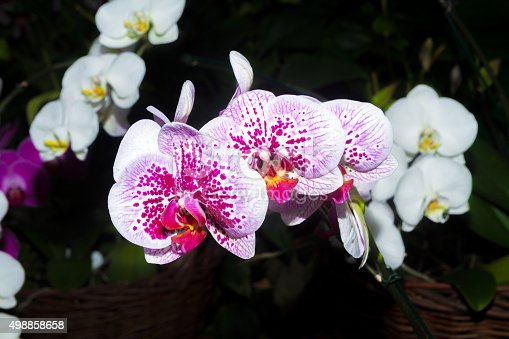 White-pink Orchid flowers close-up in the botanical garden. Lifestyle , wellness, romance, and fragrance concept. Selective focus.