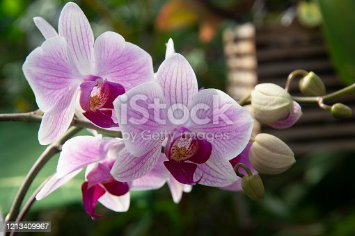 White-pink orchid flowers in Toronto greenhouse. Phalaenopsis Orchids. Floral background