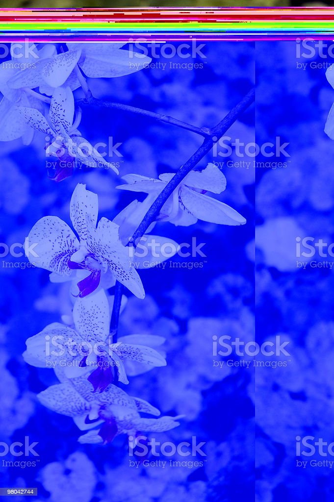 White-Pink Orchide royalty-free stock photo